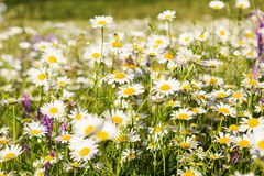Field of chamomiles in the nature Stock Photo