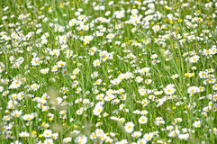 Field chamomiles Stock Images