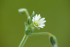 Field chickweed. (Cerastium arvense) is a widespread species, occurring throughout Europe stock images