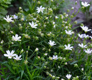 Field Chickweed Royalty Free Stock Photos