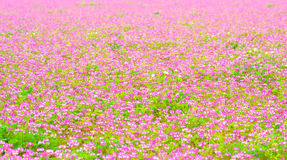 Field of chinese milk vetch blooming Royalty Free Stock Images