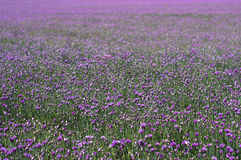 Field of chives flowers Royalty Free Stock Image
