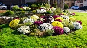 Field of chrysanthemum stock photo