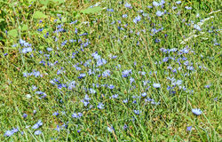 """Field of cichorium intybus blue flower, in Romania known as. """"Cicoarea comuna Royalty Free Stock Photo"""