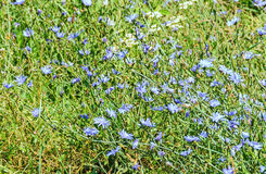 """Field of cichorium intybus blue flower, in Romania known as. """"Cicoarea comuna Royalty Free Stock Image"""