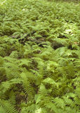 Field of Cinnamon Ferns. A large field filled with Cinnamon Ferns Stock Image