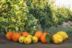 Field of citrus. Orange,lemons,cedars Stock Images