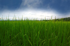 Field with clouds. A paddy field is a flooded parcel of arable land used for growing semiaquatic rice. Paddy cultivation should not be confused with cultivation Royalty Free Stock Photography