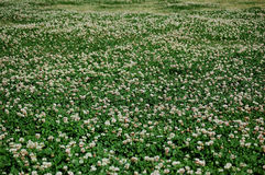 A field of clover. You might be Rolling in Clover or find a lucky four leaf clover as the old saying goes if you were in this cloverfield in Punta Gorda Florida royalty free stock image