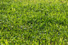 Field with clover. Close up royalty free stock photo