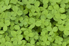 Field Clover Royalty Free Stock Photography
