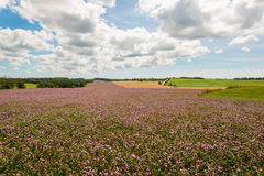 Field of clover flowers in bloom Stock Images