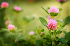 Field of clover flowers. Pink clover flowers in spring, shallow depth of field Stock Image