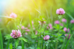 Field of clover flowers Royalty Free Stock Photo