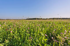 Field of clover flowers. In sunset lights royalty free stock photography