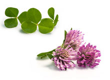 Field clover. And its purple flower Stock Photos
