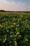 Field of Clover Royalty Free Stock Photography