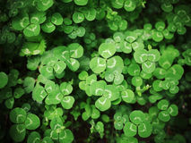 Field of Clovers. Clovers growing in the mountain in the spring seasion royalty free stock image