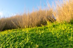 Field of clovers with brown grass and blue sky. As a blurry backdrop royalty free stock image