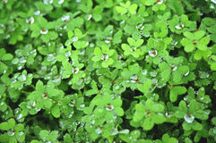 Field of clovers. Covered by drops of water Royalty Free Stock Photo