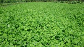 Field of clovers. Gently moving in the wind stock video footage