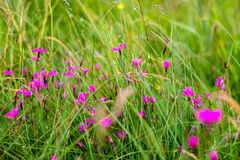 Field cloves. Dianthus carthusianorum in summer Royalty Free Stock Photos