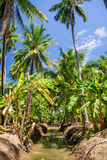 Field of coconut and bananas trees in Ampawa Royalty Free Stock Image