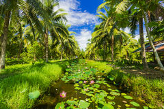 Field of coconut trees Stock Image