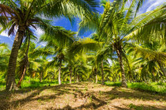 Field of coconut trees Royalty Free Stock Photo