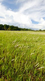 Field of cogon grass Stock Images
