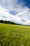 Field of cogon grass Royalty Free Stock Images