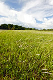 Field of cogon grass Royalty Free Stock Photography