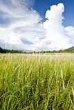 Field of cogon grass with  cloud Royalty Free Stock Image