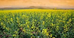 Field of cole flowers. On sunset royalty free stock photography