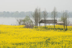 Field of cole flowers. In Zhejiang province of China Royalty Free Stock Image
