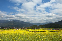 Field of cole flowers. In Zhejiang province of China Royalty Free Stock Photos