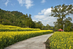 Field of cole flowers. In Zhejiang province of China stock photos