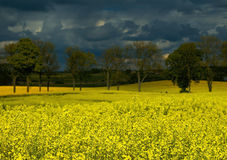Field of  cole before storm Royalty Free Stock Image