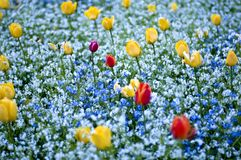 Field with colored flowers. Tulips flowers in red and yellow on a field Stock Image