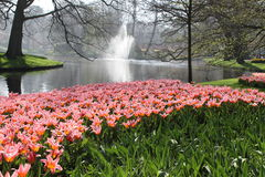 Field with colored flowers. These flowers bloom in the Keukenhof in Netherlands Royalty Free Stock Images