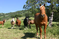 Field of colored horses. Horses in pasture Paints, bays buckskins, palonimos Stock Images