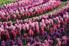 Field with colored hyacinthen. These flowers bloom in the Keukenhof in Netherlands Stock Image