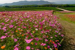 Field of colorful cosmos flowers on the hill. royalty free stock photography