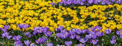 A field of colorful crocuses in spring stock photo