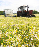 Field of colorful daisy with  farm tractor in the background Stock Photo