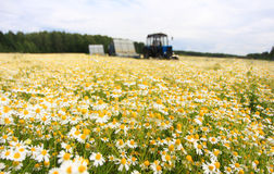 Field of colorful daisy with out of focus farm tractor in the background Stock Image