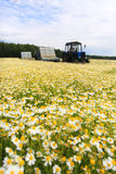 Field of colorful daisy with out of focus farm tractor in the background Stock Photos