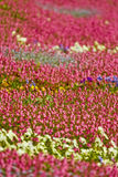 Field of colorful flowers. Scenic view of field of colorful flowers in bloom Royalty Free Stock Photography
