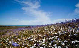 Field of colorful flowers Stock Images