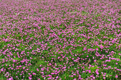 Field of colorful nemesia plants. With purple flowers being cultivated at a nursery or botanical farm for retail as garden or house plants Stock Photography